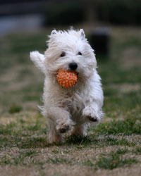 white dog running with orange ball in mouth