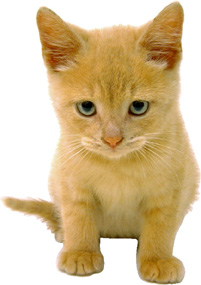 golden kitten